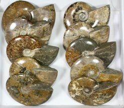 "Buy Wholesale Lot: 5 1/2 to 7"" Polished Ammonite Fossils - 10 Pieces - #82651"