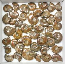 "Buy Wholesale: 1kg Iridescent, Red Flash Ammonites (1-2"") - 43 Pieces - #82474"