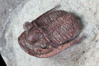 Red Aulacopleura & Leonaspis Trilobites - Hmar Laghdad, Morocco For Sale, #82973