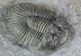 "1.25"" Platyscutellum Trilobite - Tiny Axial Spines For Sale, #82967"