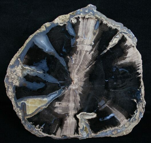 Blue Forest Petrified Wood Slice - 4.6x4.5""