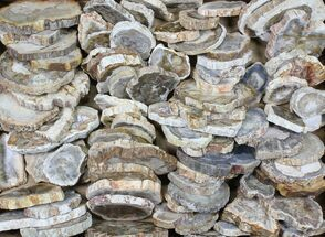 "Wholesale Lot - 1.5 to 3.5"" Petrified Wood Slices - 88 Pieces For Sale, #83294"