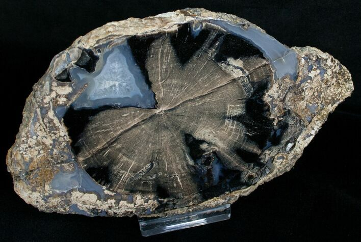 Blue Forest Petrified Wood Slice - 5.6x3.4""
