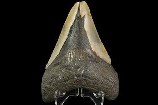 "Buy Bargain, 3.92"" Megalodon Tooth - North Carolina - #83893"