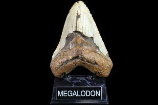 "5.6"" Fossil Megalodon Tooth - North Carolina For Sale, #83975"