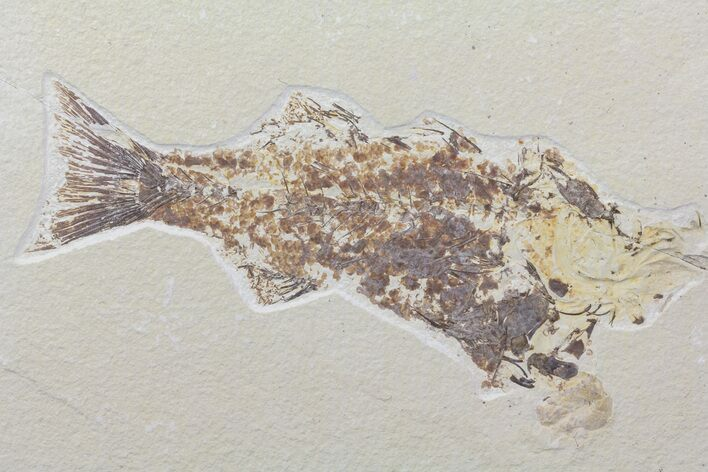 "Bargain 9"" Mioplosus Fossil Fish - Uncommon Species"