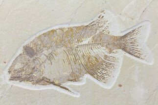 "Buy Bargain, 7.5"" Phareodus Fish Fossil - Uncommon Species - #84232"