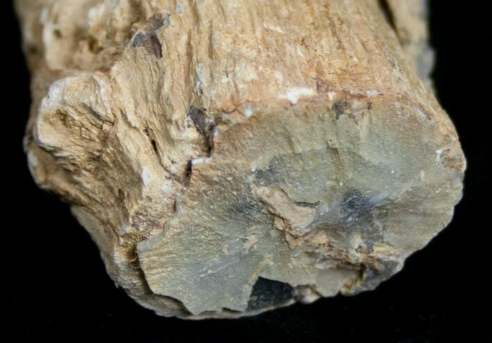 Unpolished Petrified Wood Limb - Blue Forest