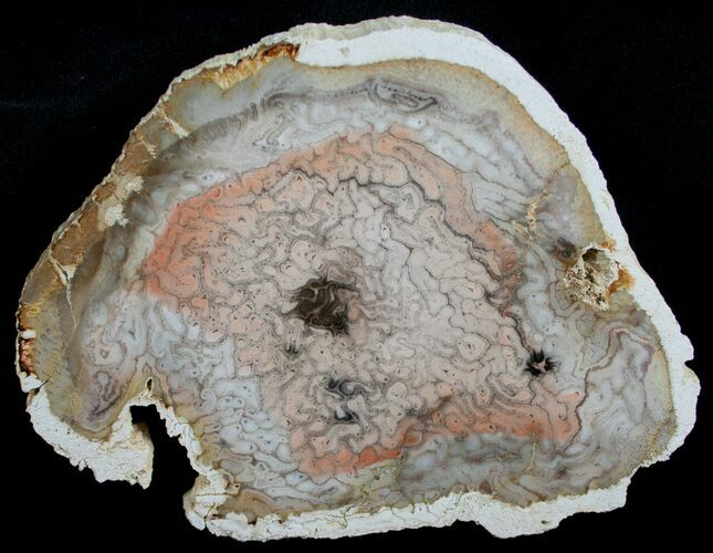 """Porcelain Whiteskin"" Tree Fern Slab - 4.9"""