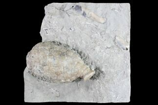 "1.7"" Cystoid Fossil (Holocystites) on Rock - Indiana For Sale, #85703"