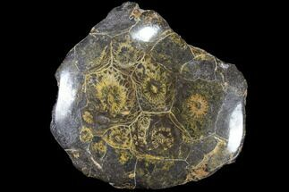 Actinocyathus sp. - Fossils For Sale - #84981