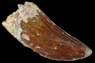 Carcharodontosaurus - Fossils For Sale - #85773