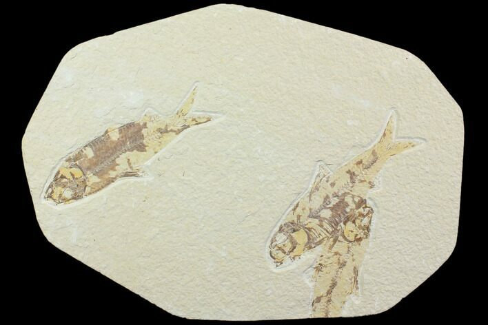 Three Knightia Fossil Fish - Wyoming