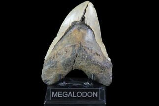 "Bargain, 6.04"" Fossil Megalodon Tooth - Monster Tooth For Sale, #86504"