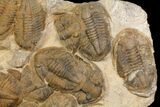 "35"" Plate Of Large Asaphid Trilobites - Spectacular Display - #86537-4"