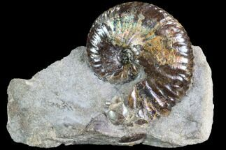 "Buy 1.3"" Iridescent Hoploscaphites Ammonite - South Dakota - #86200"