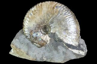 Hoploscaphities nicolletii - Fossils For Sale - #86202