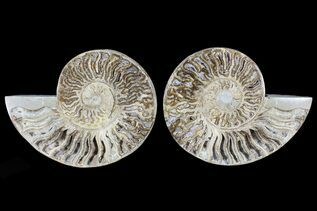 Ammonites For Sale
