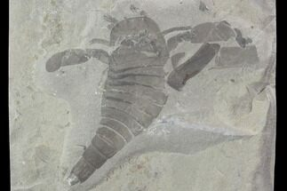 "3.8"" Eurypterus (Sea Scorpion) Fossil - New York For Sale, #86882"