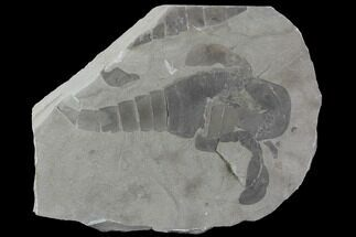 "5.4"" Eurypterus (Sea Scorpion) Fossil - New York For Sale, #86789"