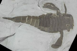 "3.7"" Eurypterus (Sea Scorpion) Fossil - New York For Sale, #86879"