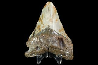 "Bargain, 4.94"" Fossil Megalodon Tooth - North Carolina For Sale, #86960"