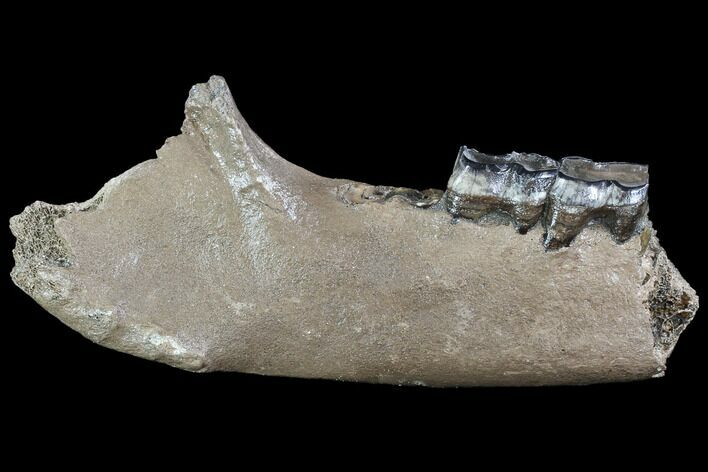 "12"" Fossil Rhino (Stephanorhinus) Lower Jaw - Hungary"