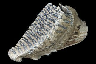 "10"" Fossil Southern Mammoth Molar For Sale, #87479"