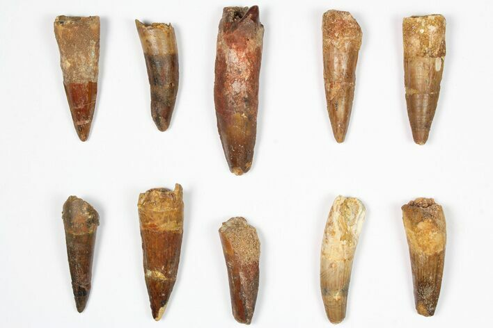 "Lot: 1.5-2.5"", Bargain Spinosaurus Teeth - 10 Pieces"