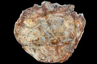 "14"" Colorful Petrified Wood (Araucaria) Round - Madagascar  For Sale, #88706"