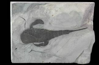 "Buy 4.2"" Fossil Eurypterus (Sea Scorpion) Fossil - New York - #86884"