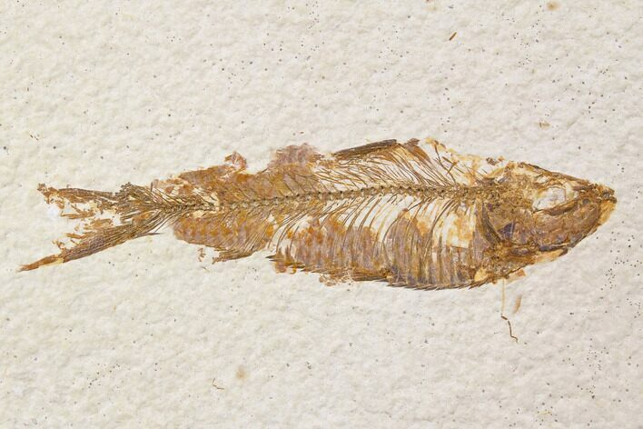 "Bargain, 3.6"" Fossil Fish (Knightia) - Wyoming"