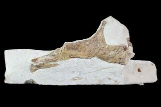 "Buy 3.4"" Mosasaur (Tethysaurus) Jaw Section  - Goulmima, Morocco - #89251"