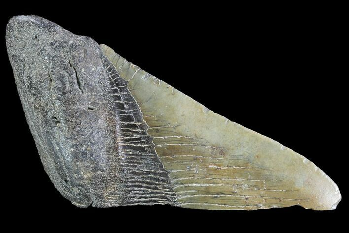 "4.62"" Partial Fossil Megalodon Tooth"