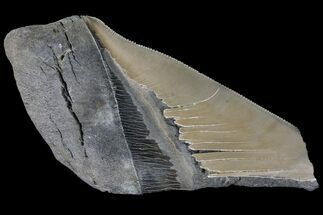 "Buy 5.18"" Partial Fossil Megalodon Tooth - Serrated Blade - #89440"
