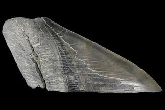 Carcharocles megalodon - Fossils For Sale - #89454