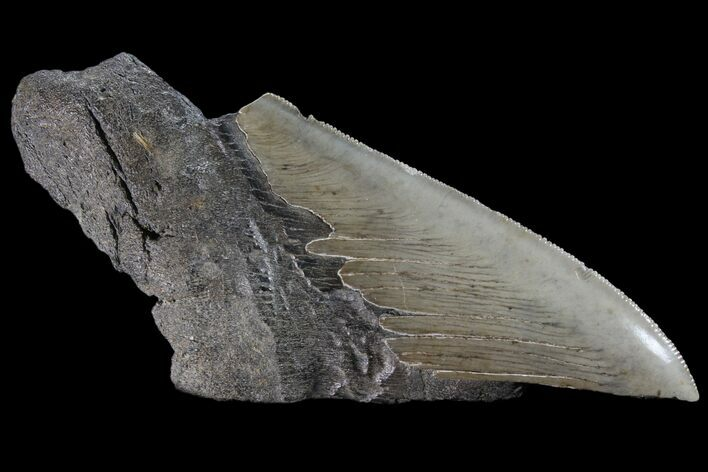 "5.5"" Partial Fossil Megalodon Tooth - Serrated Blade"