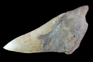 Carcharocles megalodon - Fossils For Sale - #89424