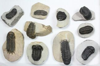 Wholesale Lot: Assorted Devonian Trilobites - 10 Pieces For Sale, #84734