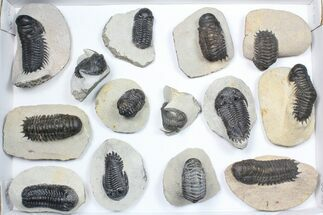 Buy Wholesale Lot: Assorted Devonian Trilobites - 14 Pieces - #84739