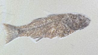 "Detailed, 12.3"" Mioplosus Fossil Fish - Uncommon Species For Sale, #89639"