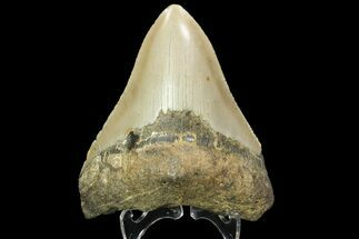 Carcharocles megalodon - Fossils For Sale - #89787