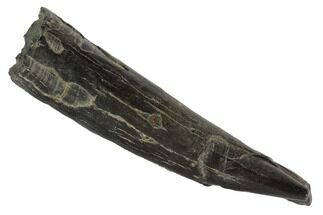 "Buy 3.6"" Fossil Pygmy Sperm Whale (Kogiopsis) Tooth - #90427"