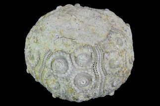 "1.1"" Detailed Nenoticidaris Fossil Urchin - Morocco For Sale, #90401"