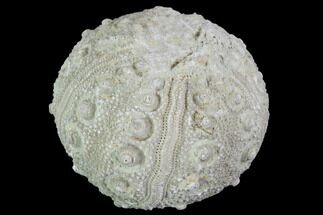 "1.3"" Detailed Nenoticidaris Fossil Urchin - Morocco For Sale, #90413"