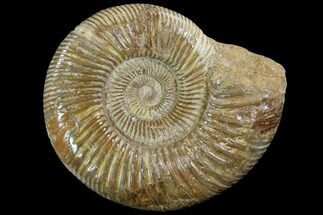 "5.7"" Perisphinctes Ammonite - Jurassic For Sale, #90455"