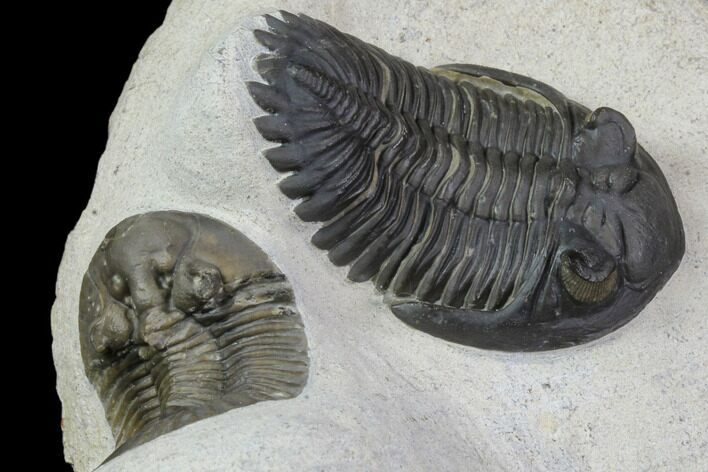 Excellent Scabriscutellum & Hollardops Trilobite Association