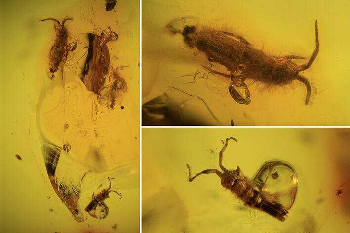 Four Fossil Springtails (Collembola) In Baltic Amber