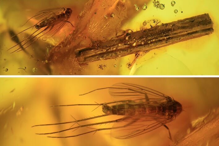 Detailed Fossil Fly (Diptera) & Wood Splinter In Baltic Amber