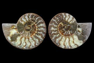 Cleoniceras - Fossils For Sale - #91149